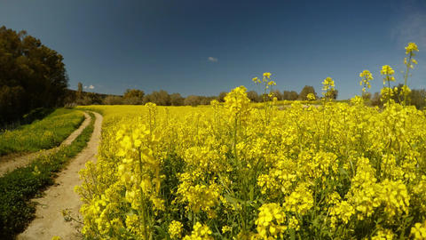 a field of rape flowers, a dirt road, a sunny day, an olive garden in the Footage