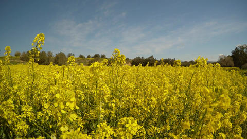 a field of yellow rapeseed flowers panorama, olive trees in the distance, Footage