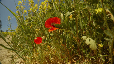 red wild poppy flowers growing near a dirt road near the field of yellow rape, Footage