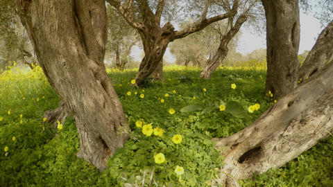 one ancient olive tree has now turned into several, but... Stock Video Footage