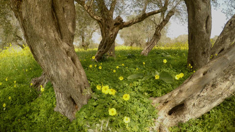 one ancient olive tree has now turned into several, but one root, a sunny day Footage