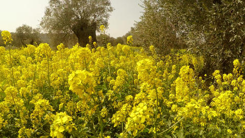 a lot of yellow flowers in the olive garden, which planted Richard the Footage