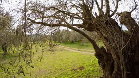 view from behind the branches and crown of a large old olive tree on a winter Footage
