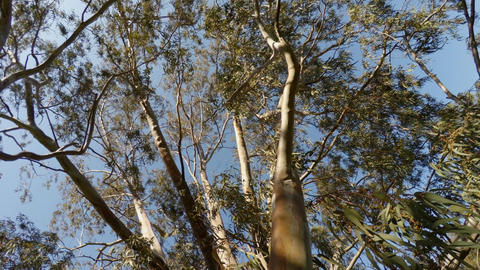 long shot, eucalyptus tree view from below upwards, leaves and branches in the Footage