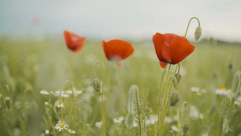 Poppy seed field. Blooming Poppies Footage