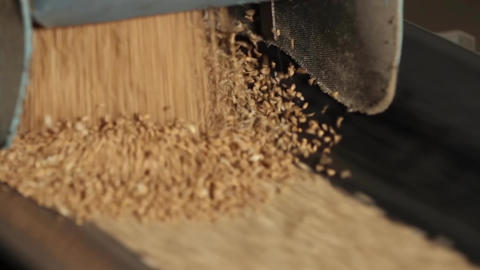 Grain moves along the conveyor belt Live Action