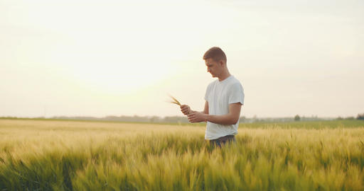 Farming, Agriculture, Crop, Wheat. Farmer checking wheat quality in hands Footage