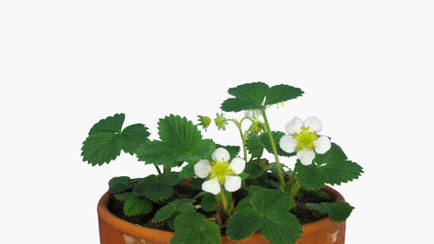 Time-lapse of blooming strawberry with ALPHA channel Footage