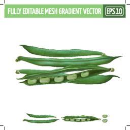 Bean on white background. Vector illustration Vector