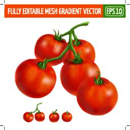 Cherry tomatoes on white background. Vector illustration Vector