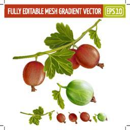 Gooseberries on white background. Vector illustration Vector