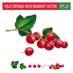 Red currant on white background. Vector illustration ベクター