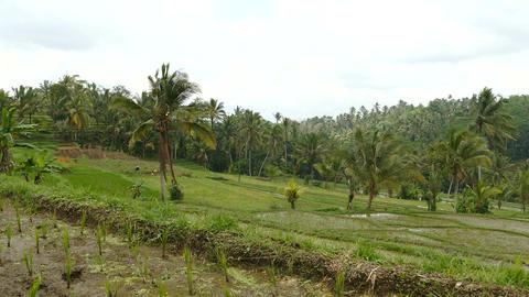 Jatiluwih rice terraces, Tabanan, Indonesia Live Action