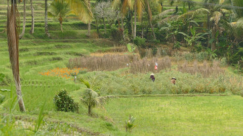 Farmers at work on paddy field, Tabanan, Indonesia Footage