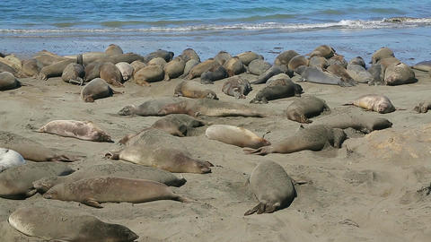Colony of wild Elephant Seals Footage