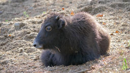 The domestic yak (Bos grunniens domesticus) baby Live Action