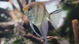 Freshwater Angelfish Footage