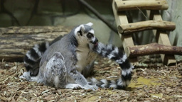 Ring-tailed lemur or lemur catta Footage