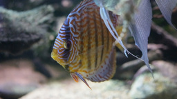 Tropical Discus Footage