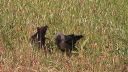 Jackdaw crows feeding Footage