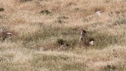 Mountain gazelle female and fawn in the field Footage