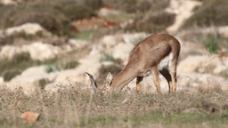 Israeli Mountain gazelle feeding from grass Footage