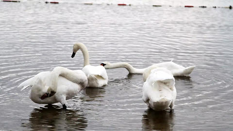 White beautiful swans at the forest lake Filmmaterial