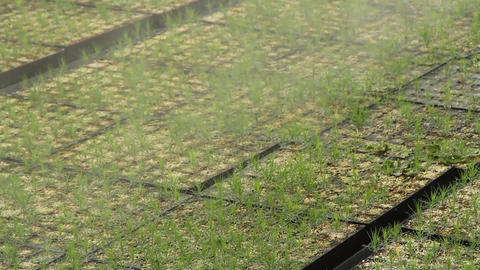 Automatic Watering Of Plants Pine Trees In The Greenhouse Footage