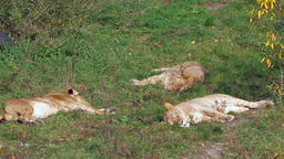 Female lions lying in the grass Footage