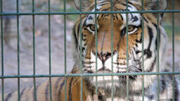 The Siberian tiger (Panthera tigris altaica). Wild animals in captivity Footage