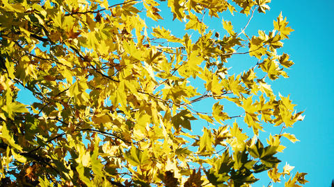 Yellow And Orange Leaves On Sunny Weather With Blue Sky Footage