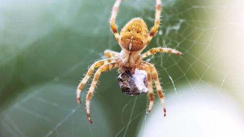 European Cross Spider (Araneus Diadematus) On Web Eating Prey Footage