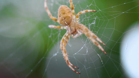 European Cross Spider (Araneus Diadematus) On Web Footage