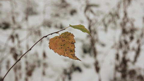 the last yellow leaves and the first snow Footage