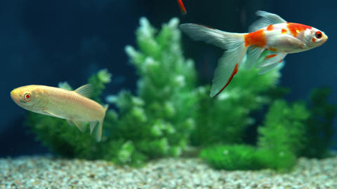 Yellow and Red Goldfish Swimming In Aquarium Footage