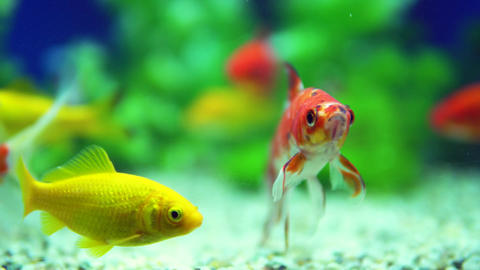 Yellow and Red Goldfish Swimming In Aquarium Live Action
