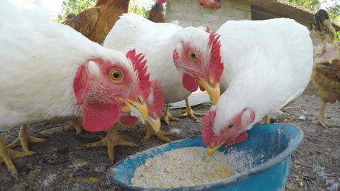 Close up with chickens eating grains at the countryside Footage