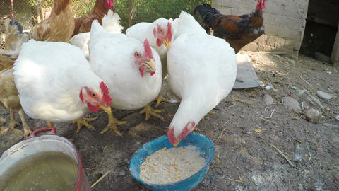 Chickens eating from a trough in a stable at the countryside Footage