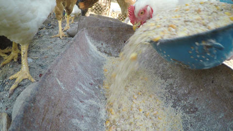 Close up with pouring grains in a trough and chickens eating at the farm Footage