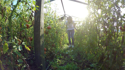 Young woman farmer entrepreneur checking on tomatoes plantations in greenhouse Footage