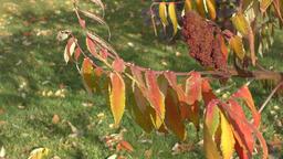 Autumn leaves tree sumac (LAT. Rhus typhina) Footage