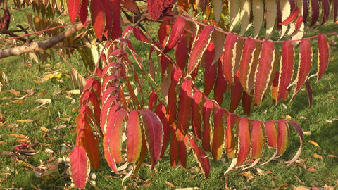 Autumn leaves tree sumac (LAT. Rhus typhina) Bild