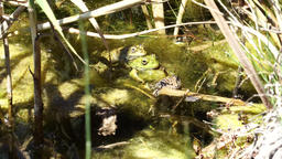 Four frogs sitting on each other Footage