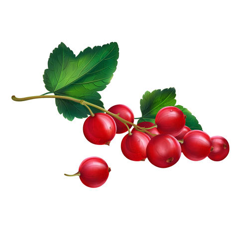 Red currant on white background Photo