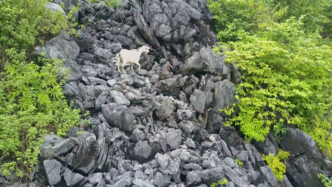 Flycam Moves Fast Close to White Goat Clambering up Stones Live Action