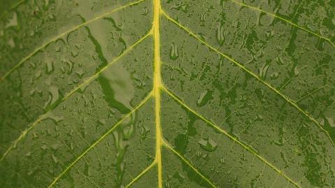 Streams of rain flow over the walnut leaf Footage
