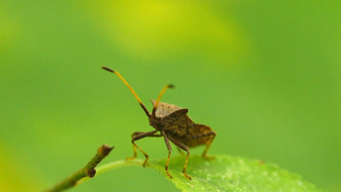 Shield Bug Insect Walking On Leaf In Slow Motion Live Action