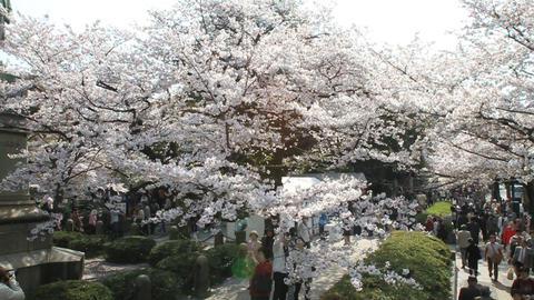 桜 sakura tokyo 東京 Footage