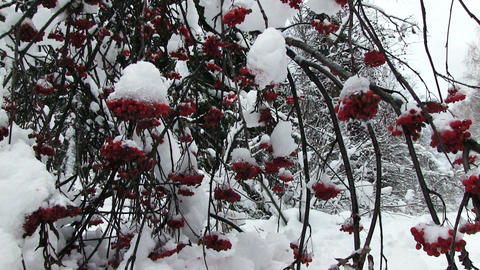 Snowy Bunches Of Red Rowan Footage