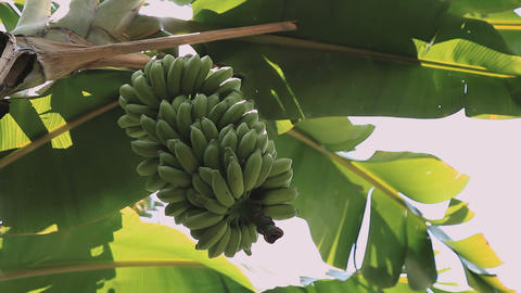 Green Bunch Of Bananas on palm tree close up Footage